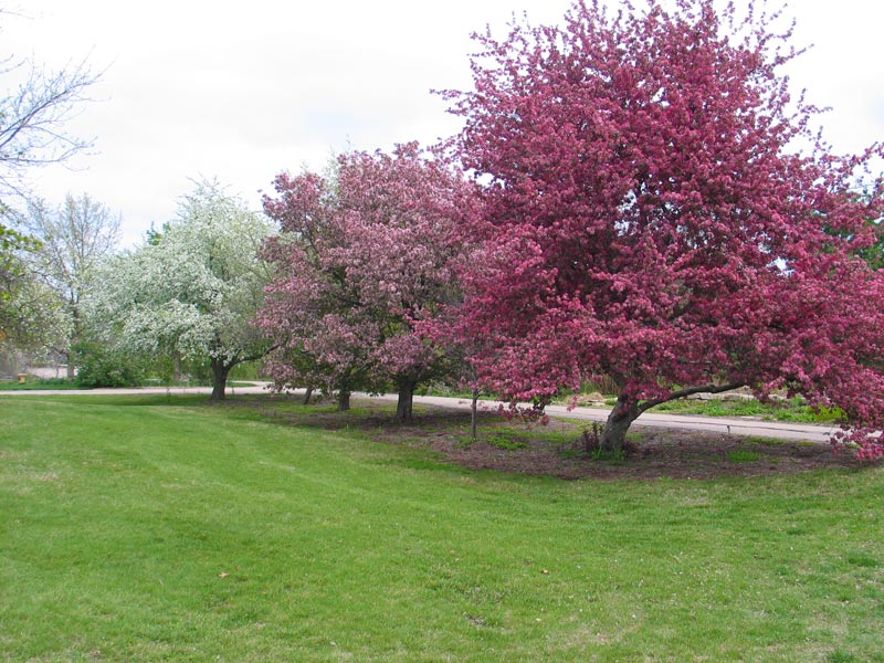 Blooming Crabapple Trees