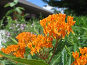 Butterfly milkweed in the small rain garden at the arboretum
