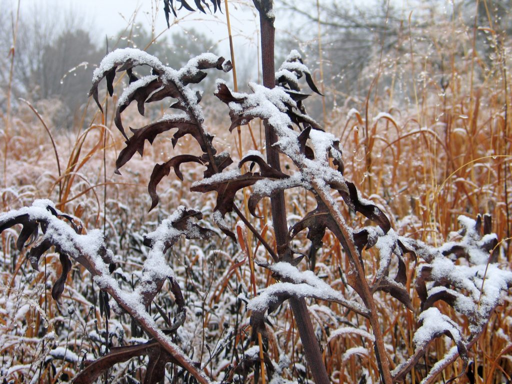 compass plant with snow
