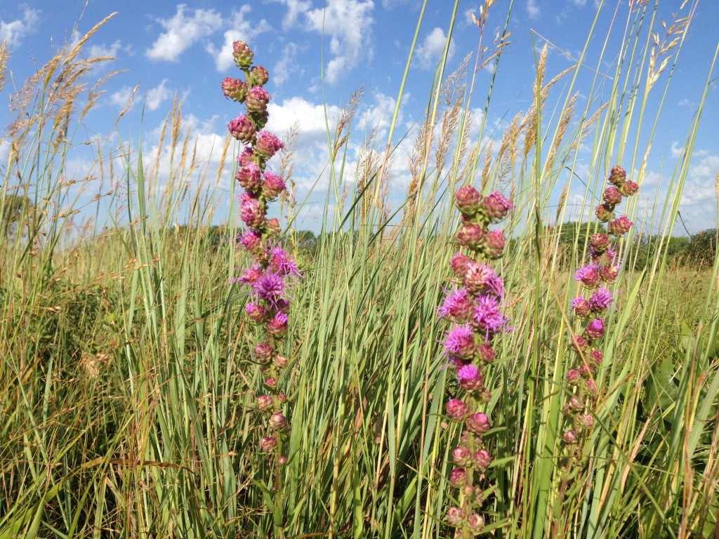 Blazing star and Indian grass in the Prairie Window Project