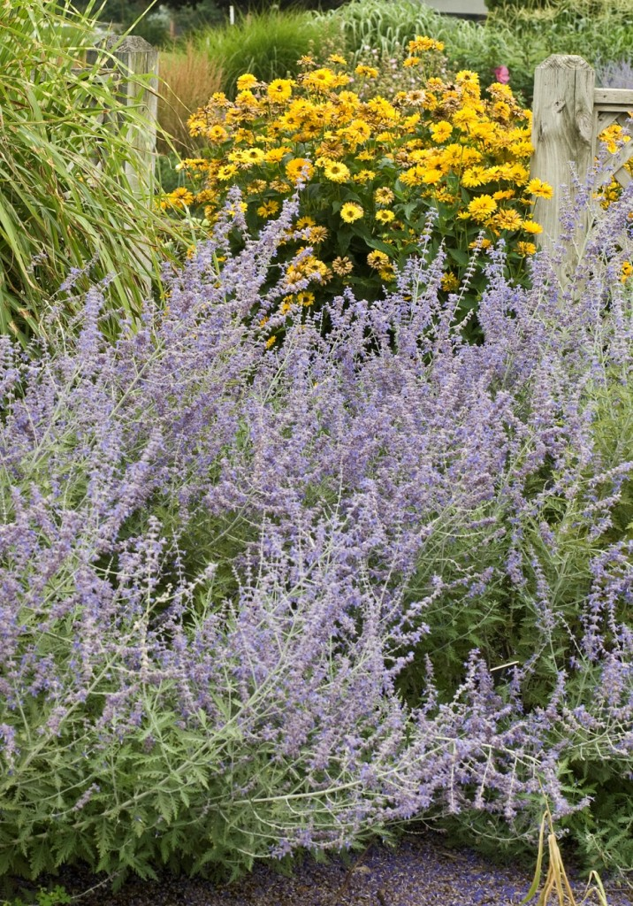 Russian Sage-Photo Courtesy of Walters Gardens, Inc.