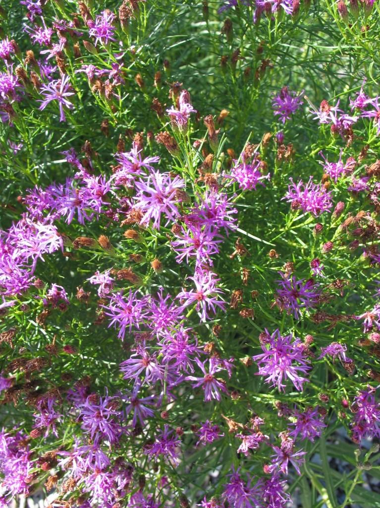Vernonia Iron Butterfly