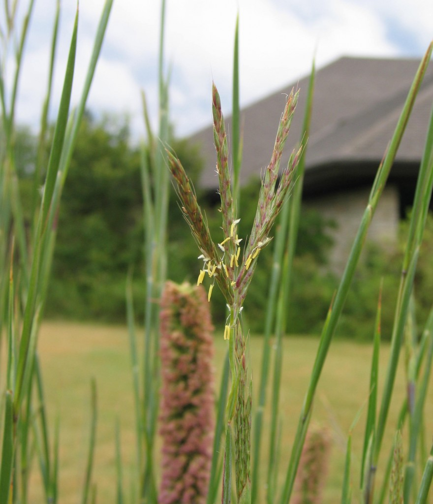 Big Bluestem3