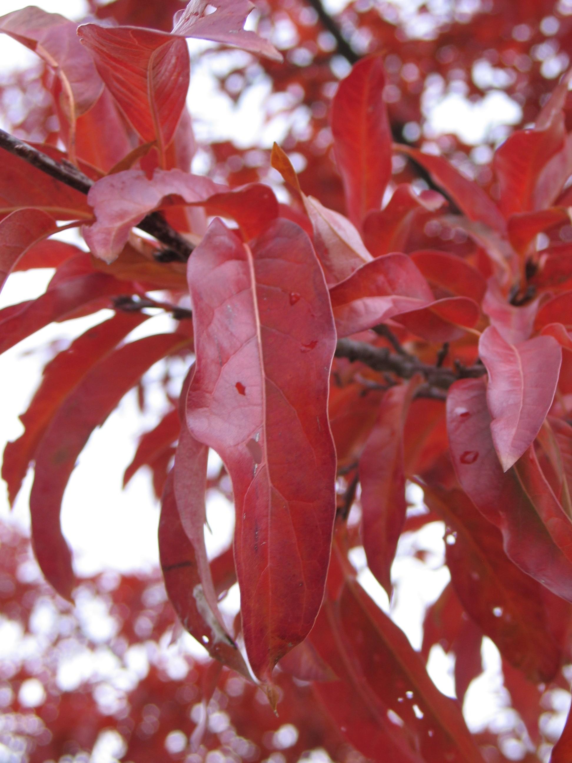 Shingle oak