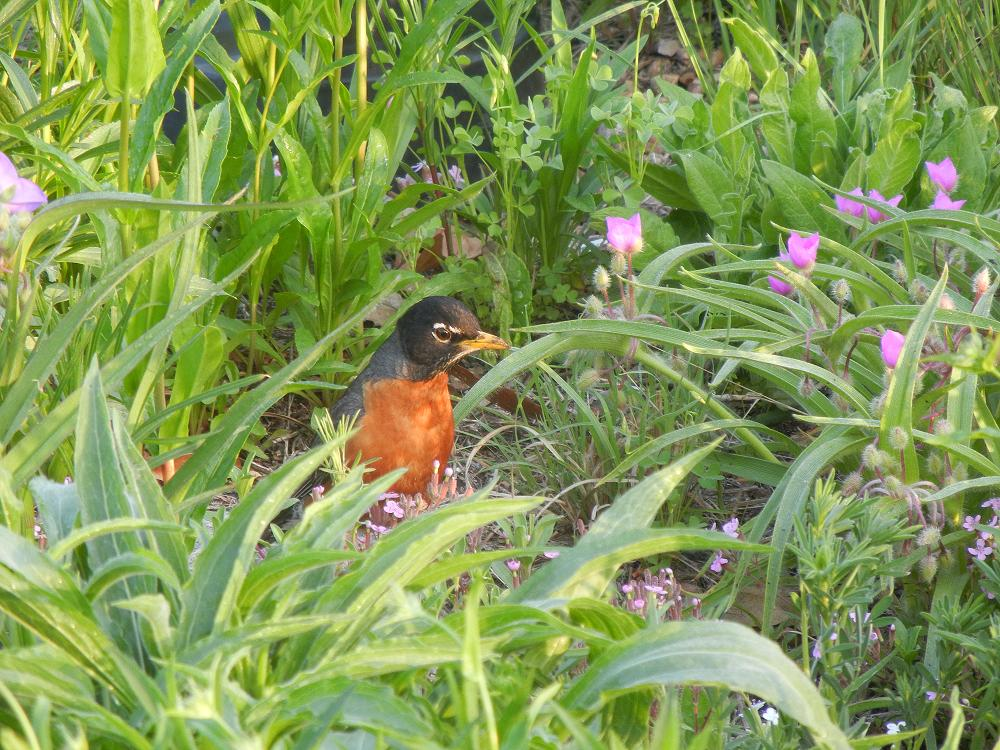 A robin looks for food in a native plant bed.