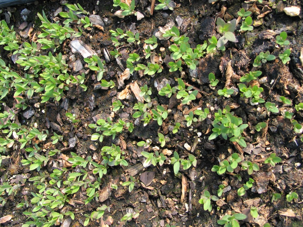 Fremont's Clematis Seedlings