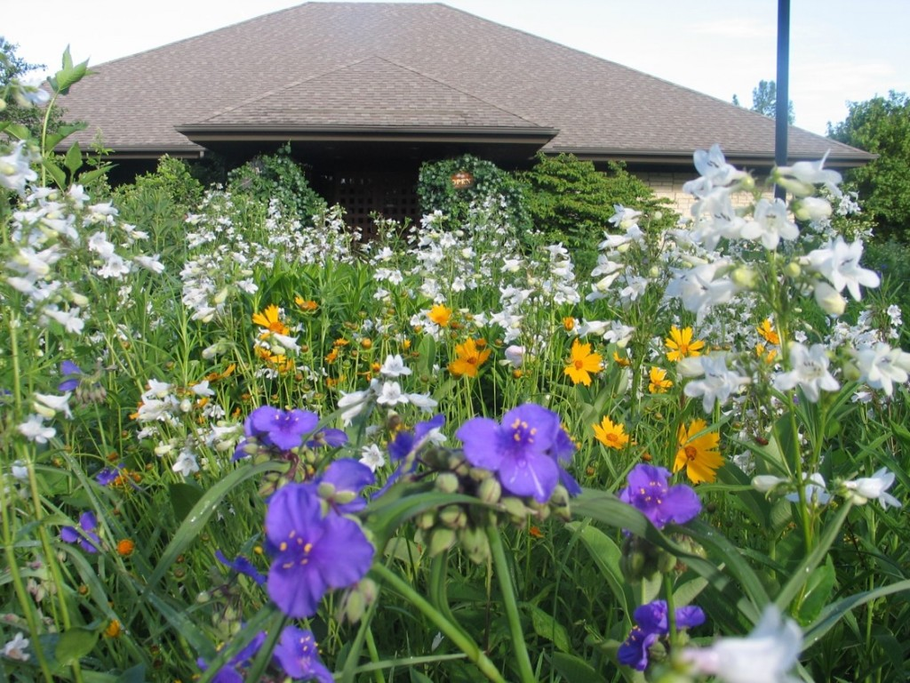 Spiderwort and Coreopsis