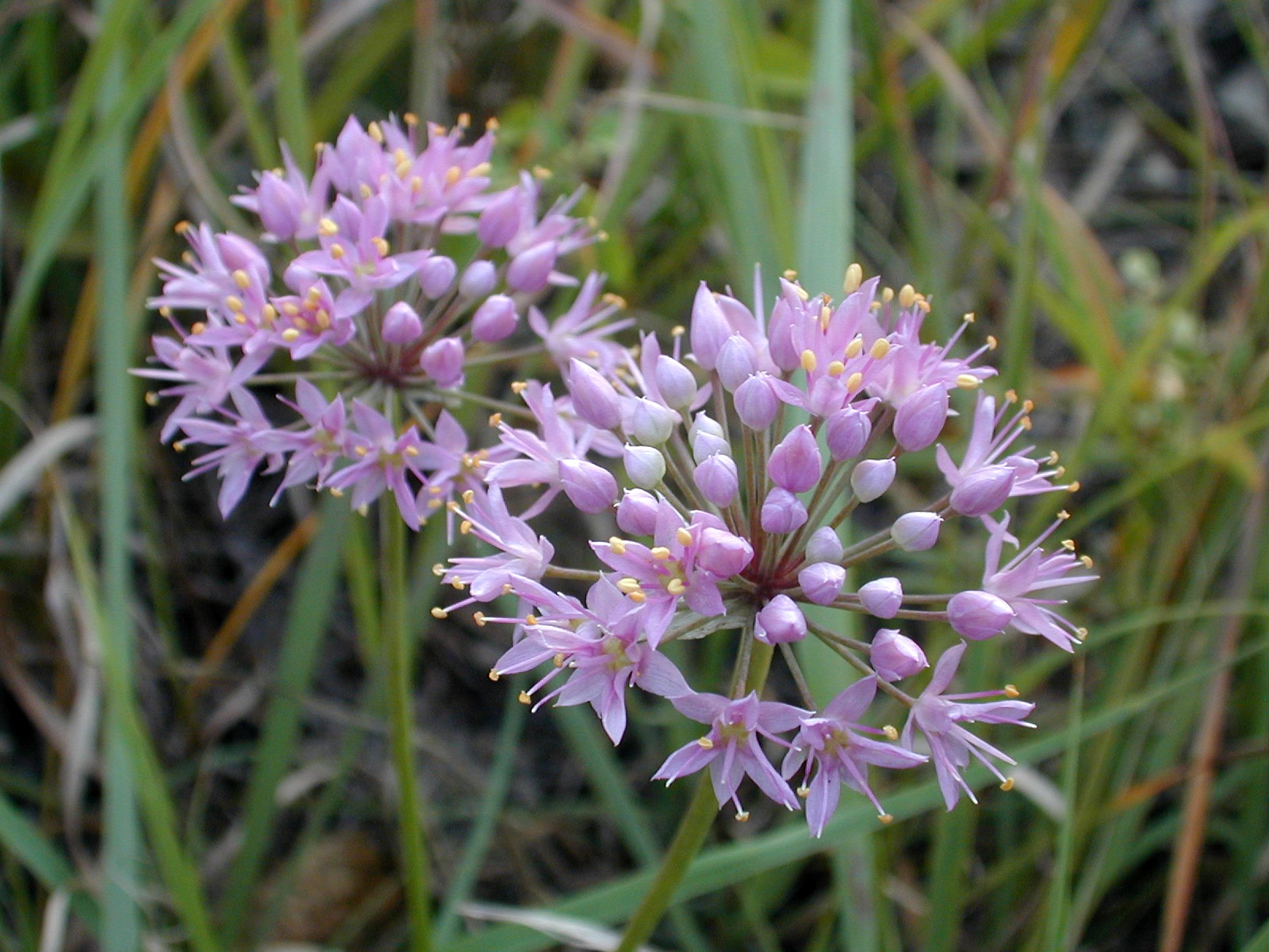 A new must have plant identification book for kansas dyck arboretum pinkwildonion mightylinksfo