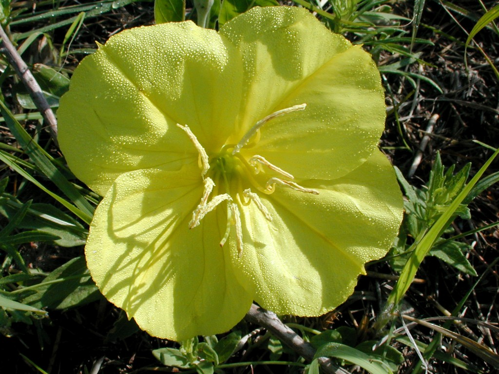Oenothera macrocarpa (MO evening primrose) - photo by Michael John Haddock