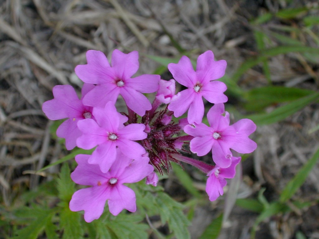 Glandularia canadensis (rose verbena) - photo by Michael John Haddock