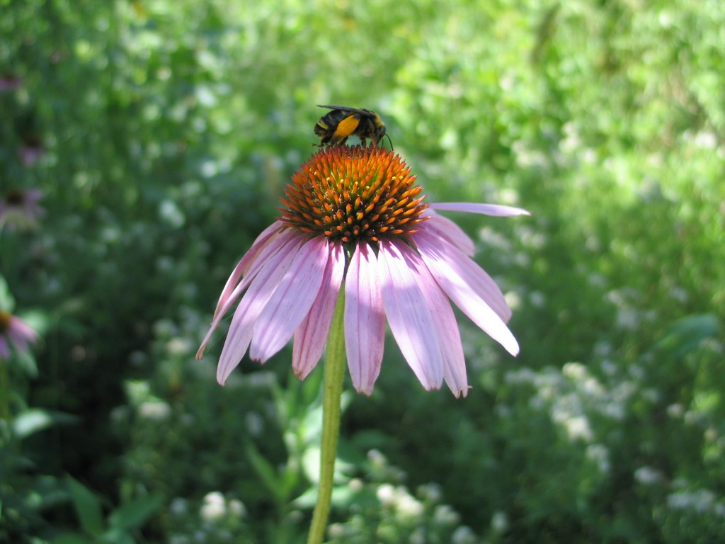 Bumblebee on Echinacea purpurea - photo by Janelle Flory Schrock