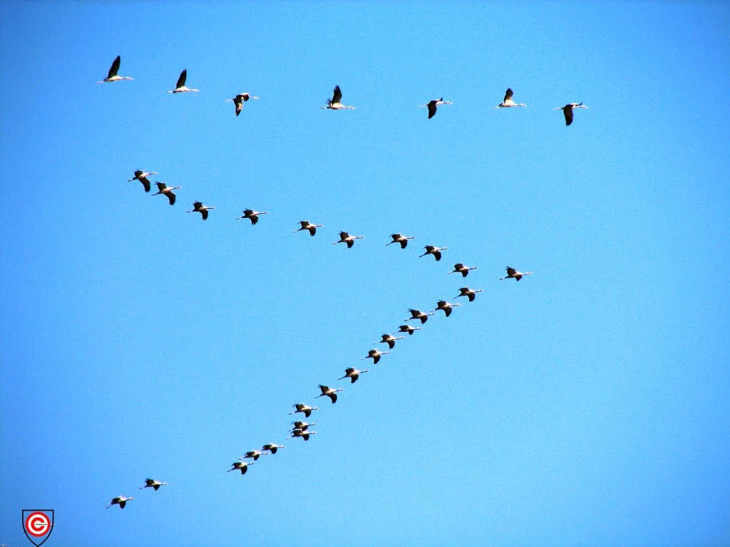 Eurasian_Cranes_migrating_to_Meyghan_Salt_Lake