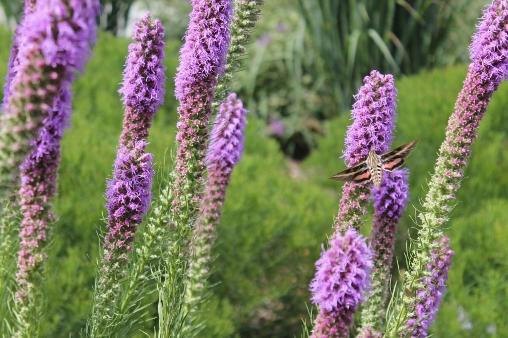HummingbirdMoth on liatris