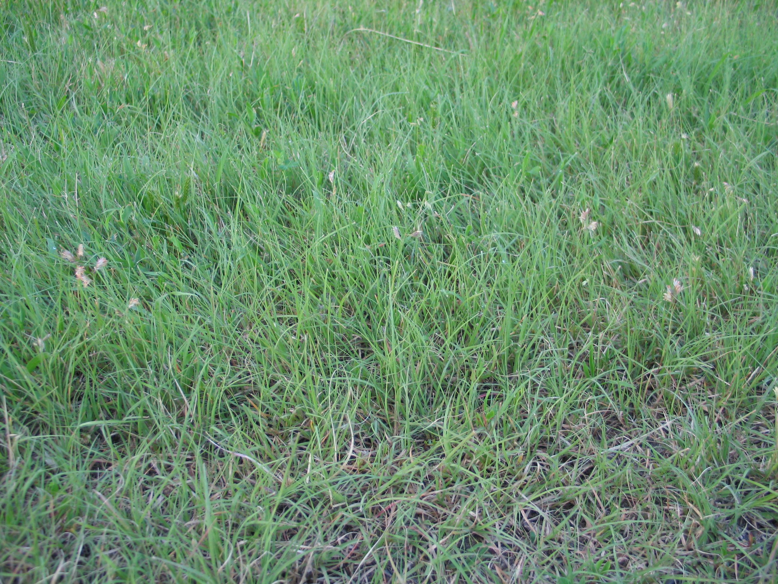 buffalograss five keys to a successful planting dyck arboretum