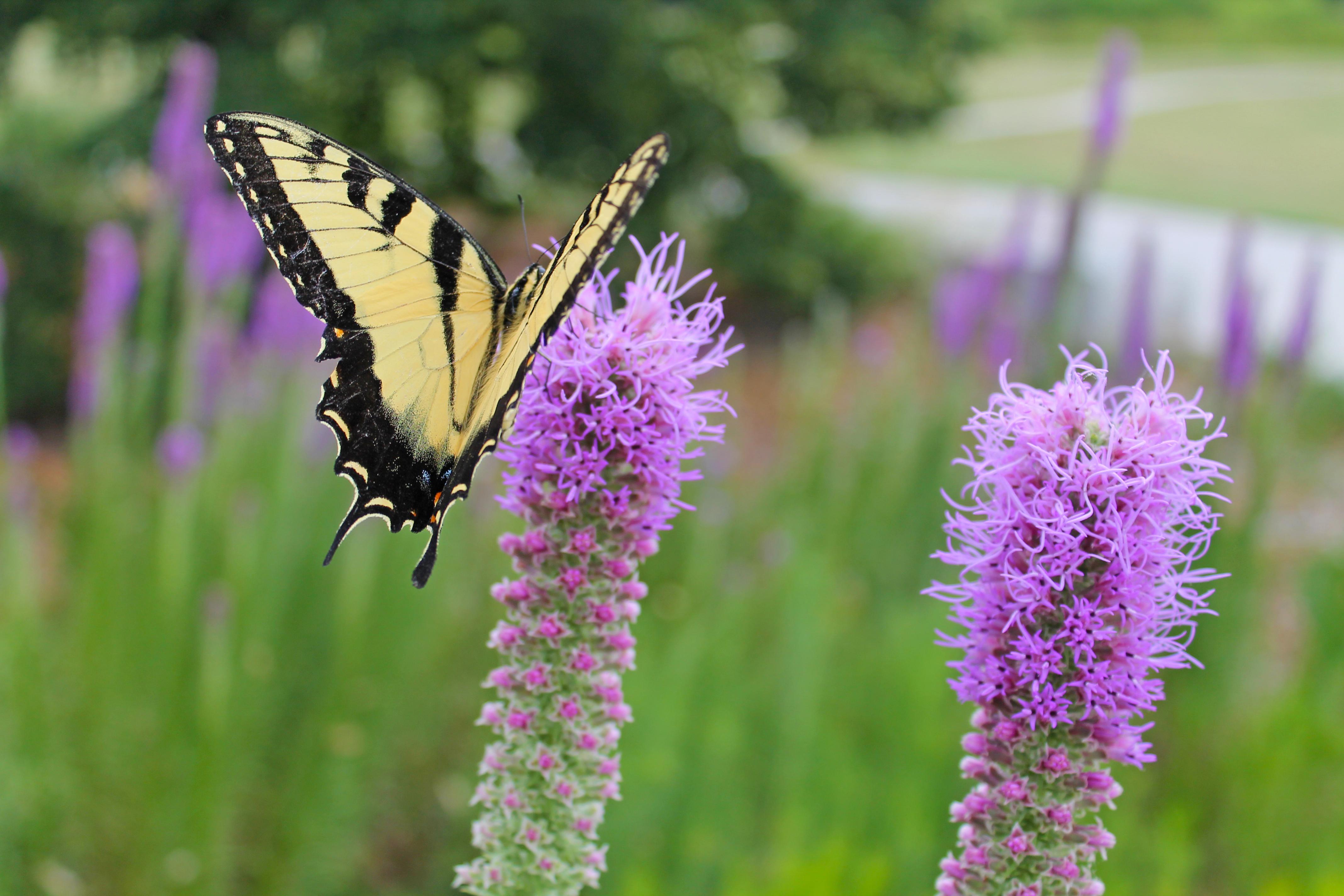 TigerSwallowtail on liatris