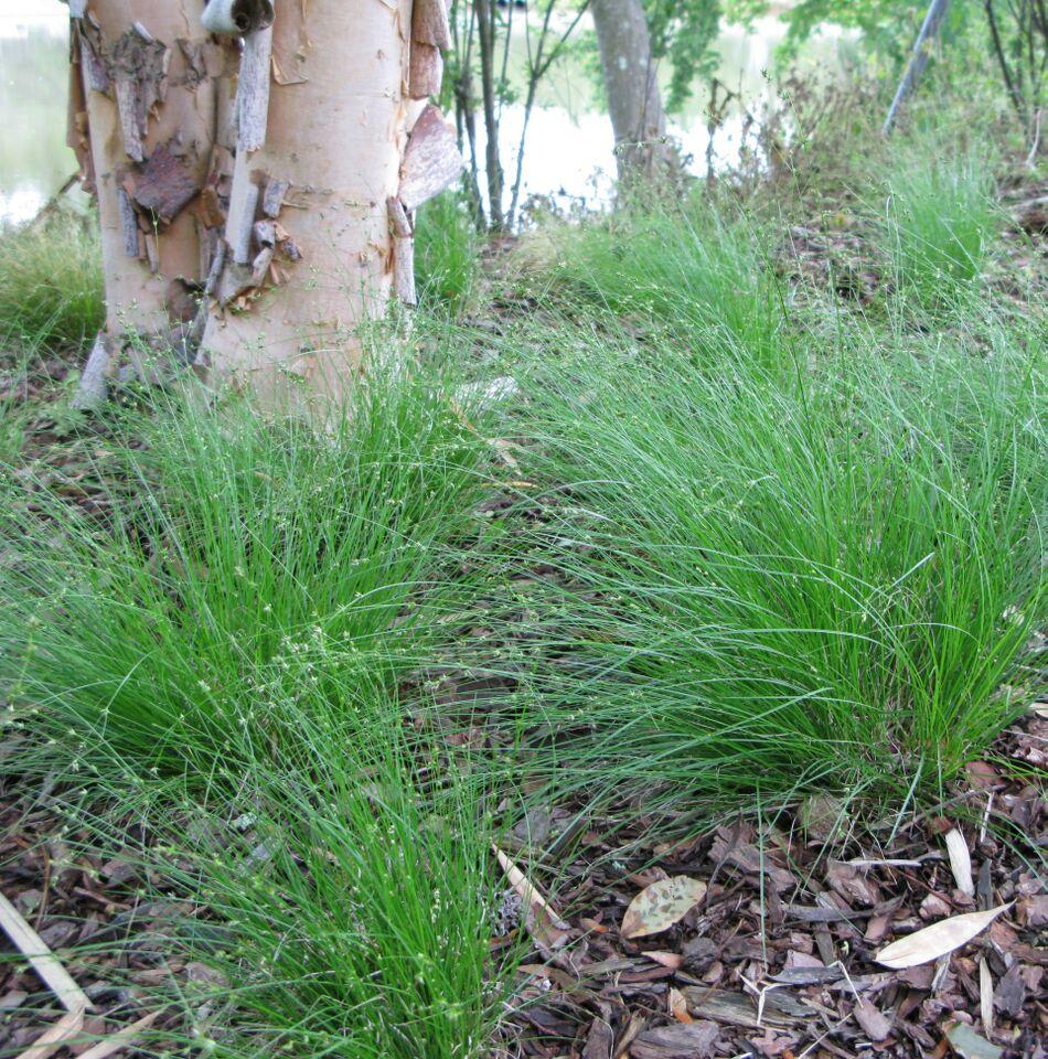 Carex appalachica Photo Courtesy Hoffman Nursery, Inc.