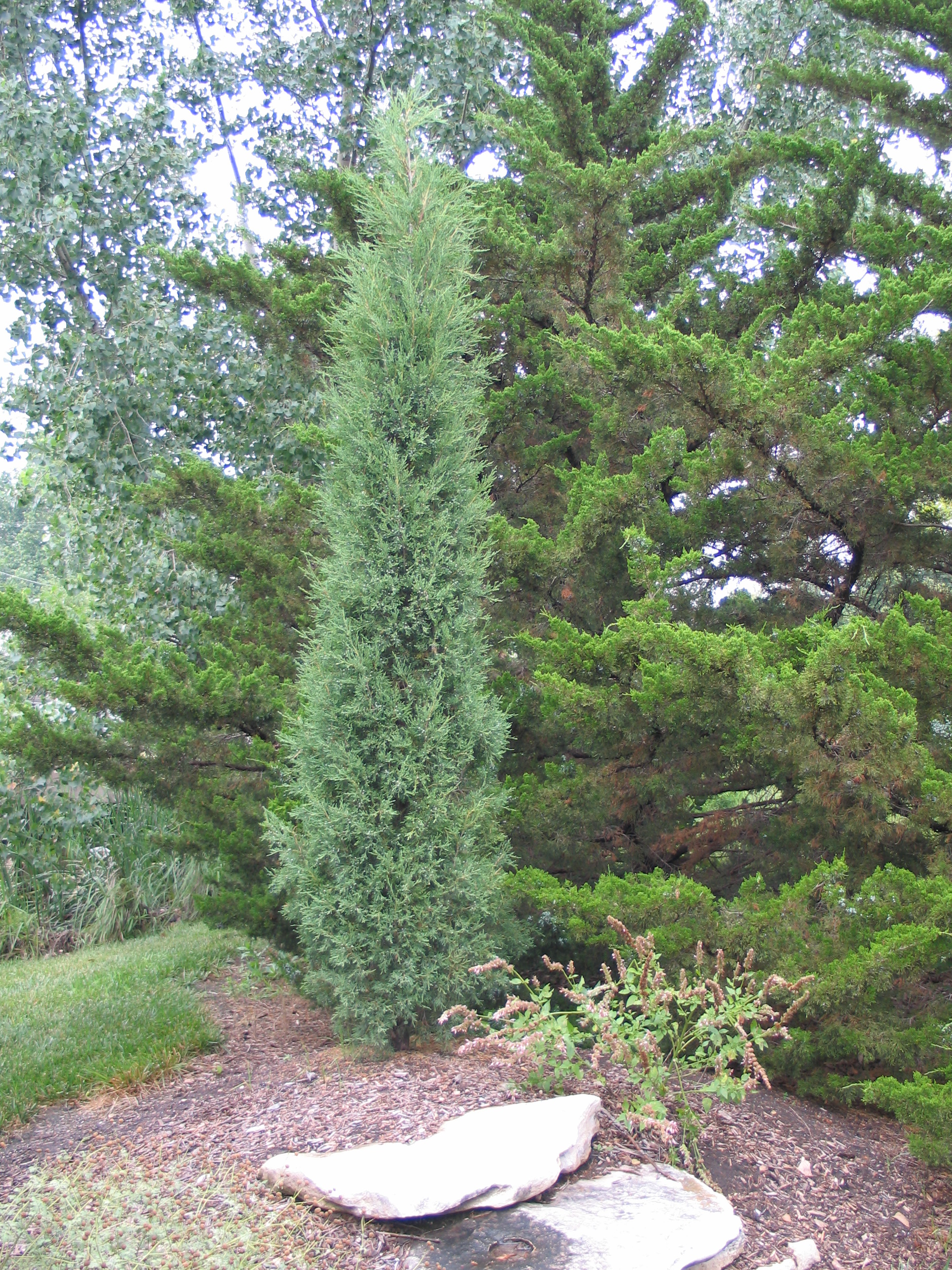 Taylor Juniper (foreground) Canaertii Juniper (background)