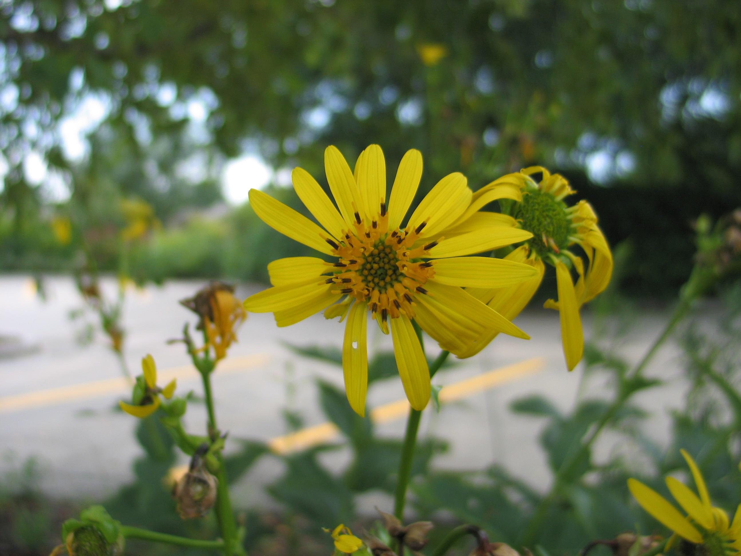 Dyck Arboretum Blog: Silphiums, Cup Plant Flower
