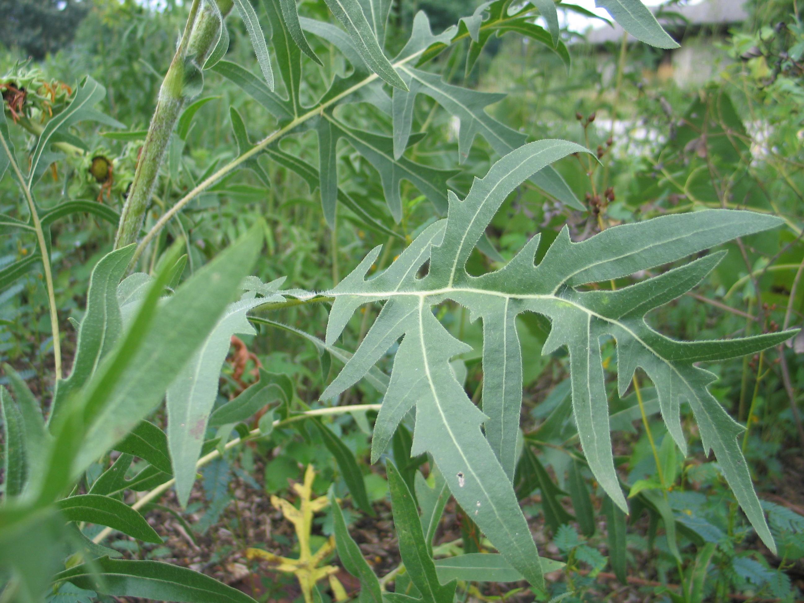 Dyck Arboretum Blog: Silphiums, Compass Plant