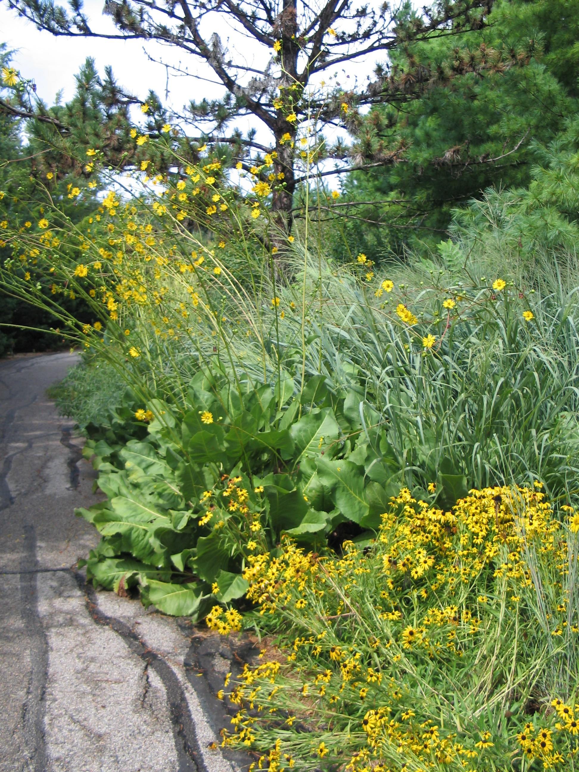 Dyck Arboretum Blog: Silphiums, Prairie Dock