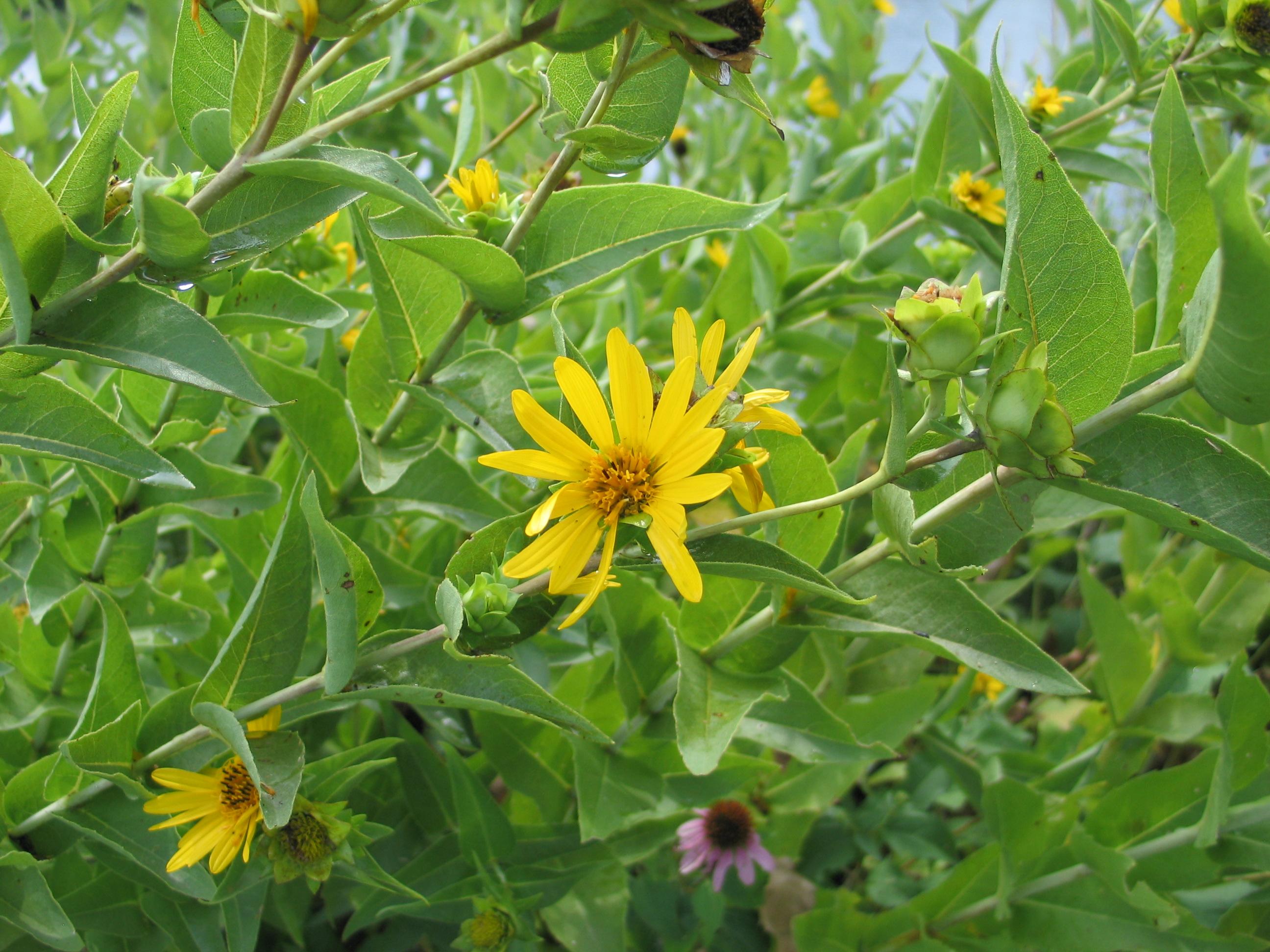 Dyck Arboretum Blog: Silphiums, Rosinweed