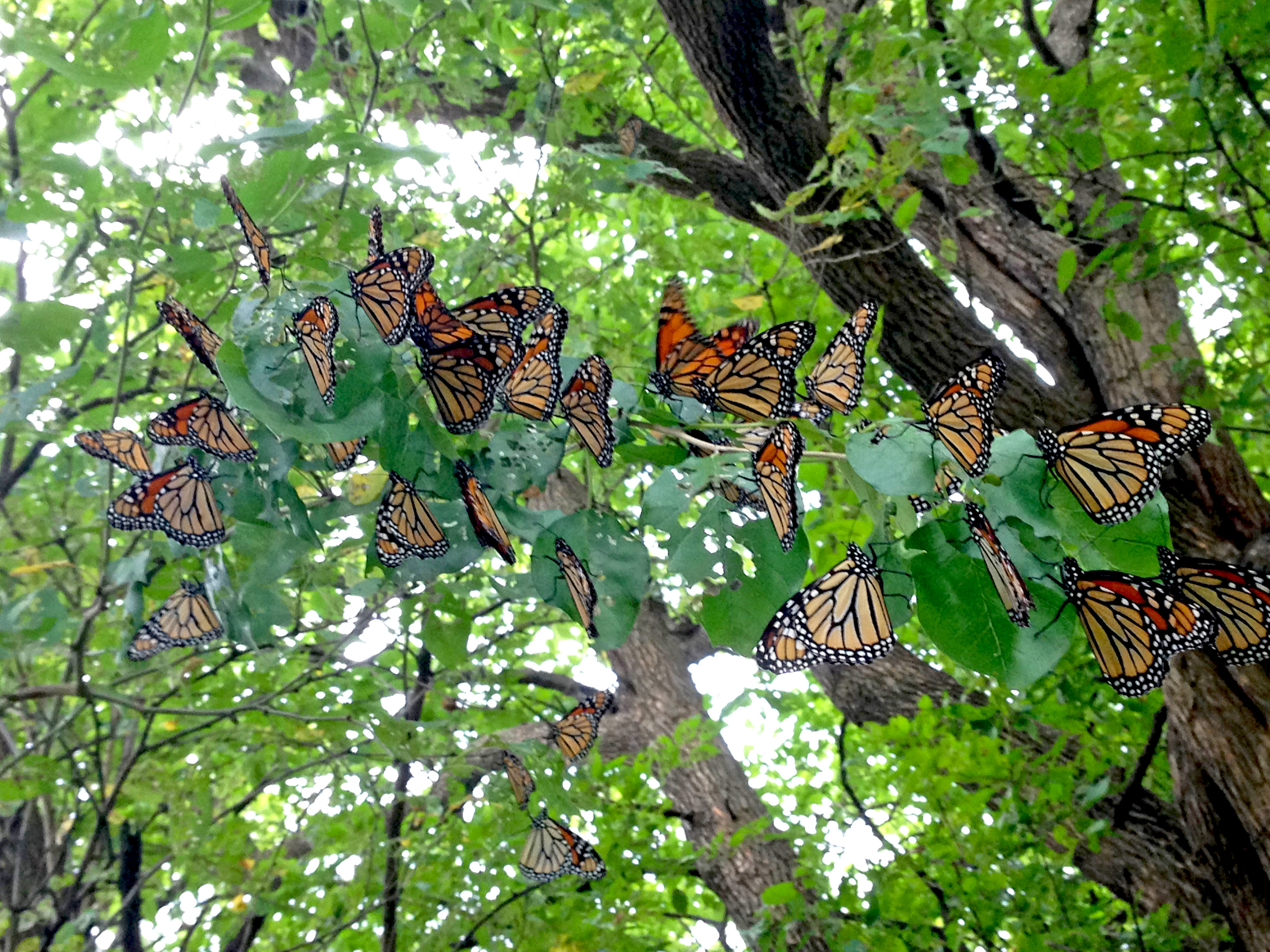 DyckArboretum.Monarchs.9.23.15