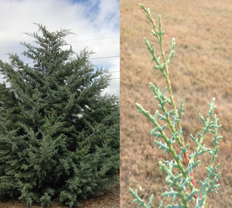 (Left) Arizona Cypress tree in the Northwest corner of the Arboretum. (Right) Cypress foliage