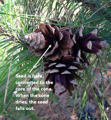 pine cone edit