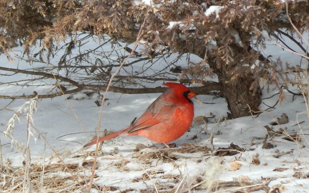 Cardinal at Dyck Arboretum