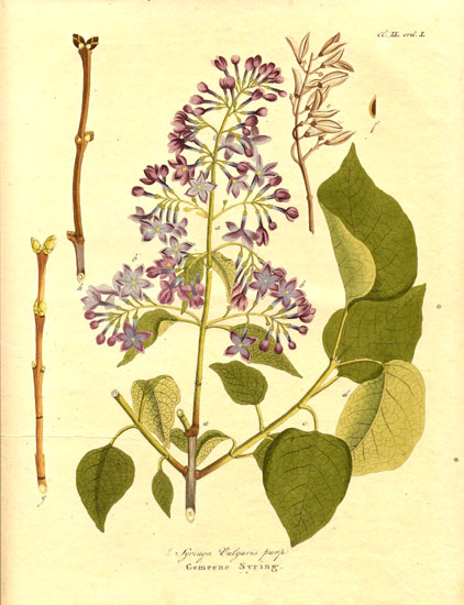 You will lose out on all the wonderful blooms and aromas if you prune your lilacs in spring. Image from https://commons.wikimedia.org/wiki/File%3ASyringa_vulgaris1.jpg