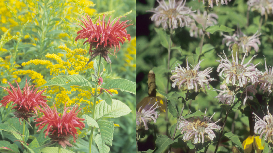 A red variety of bee balm shown with solidago (Left) and a light purple monarda fistulosa (Right)