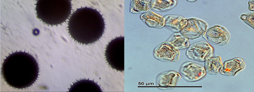 Left , ragweed pollen (Amrbosia) Right, Hazel pollen (Corylus). Hazel trees produce catkins. Ragweed does not, but the pollen is so annoying I thought everyone should know what it looks like.