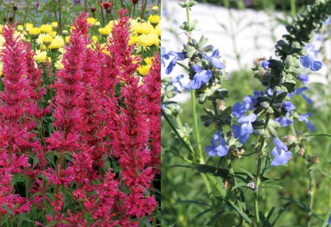 Agastache 'Raspberry Summer' (left) Salvia azurea (right)