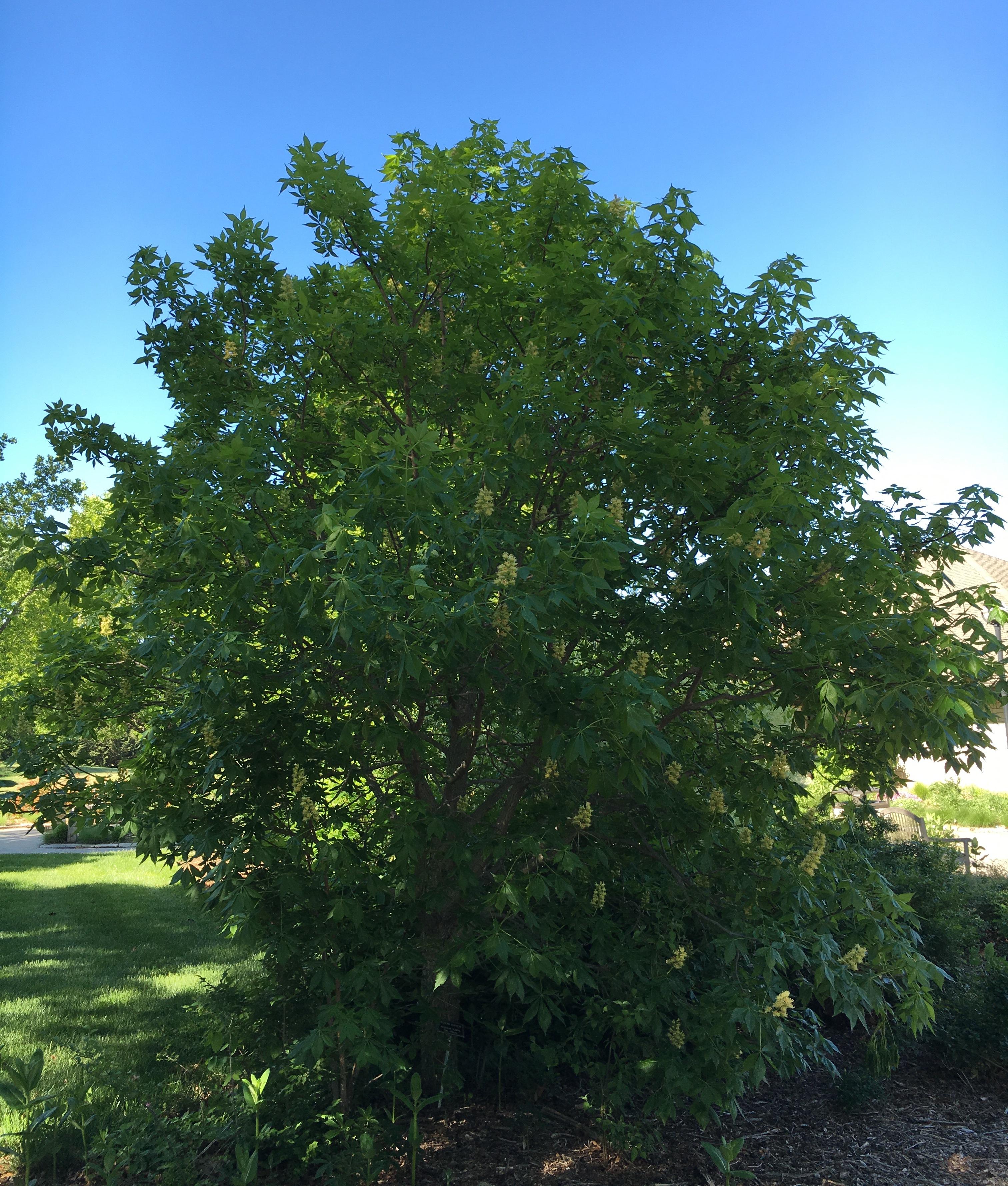 Plant Profile My Run In With A Texas Buckeye Dyck Arboretum