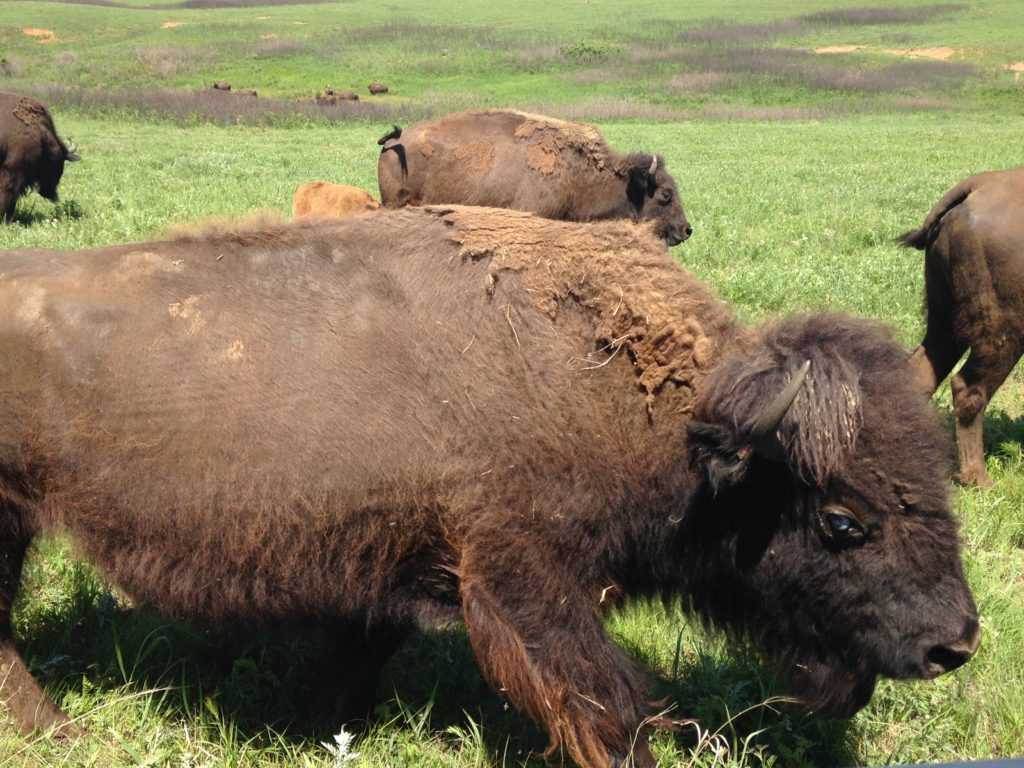 The walled trailer we were riding on let us get extremely close to the bison without the danger. Incredible viewing!