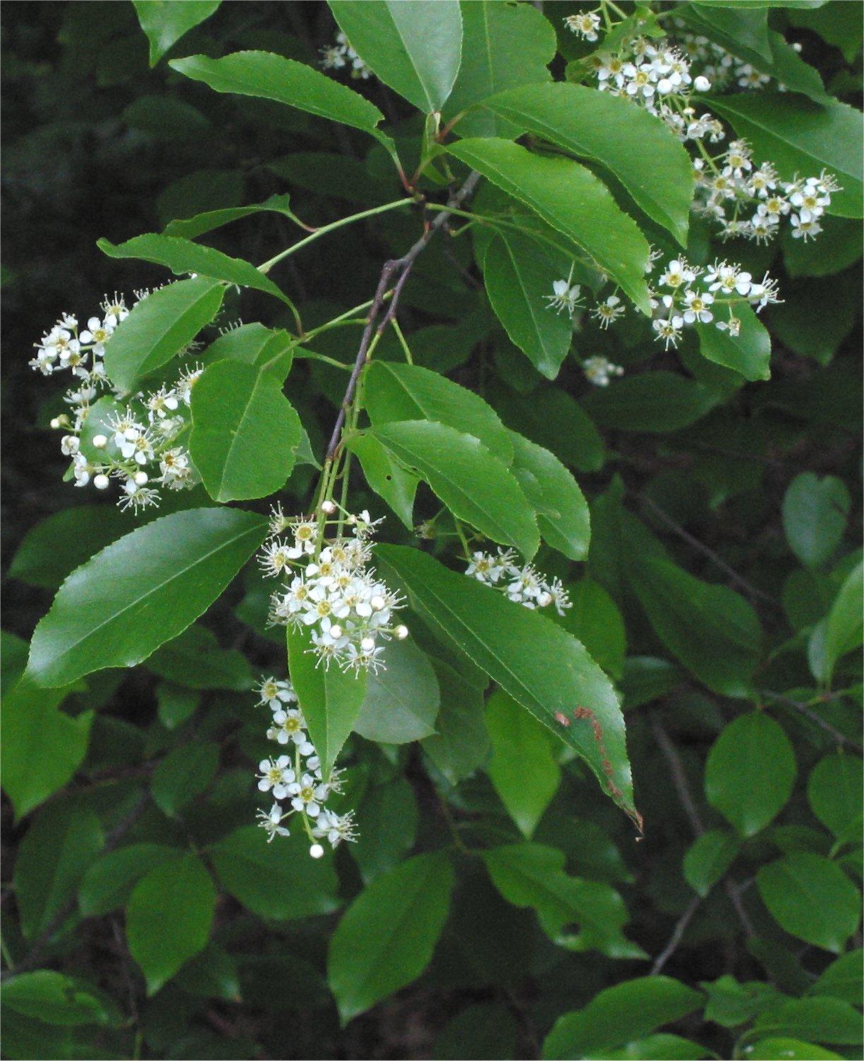 Prunus_serotina_closeup