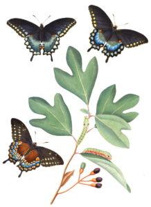 Sassafras albidium is the host plant for the spicebush swallowtail (Papilio troilus)