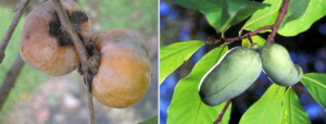 Persimmon (left) and PawPaw (right) both produce delicious fruit.