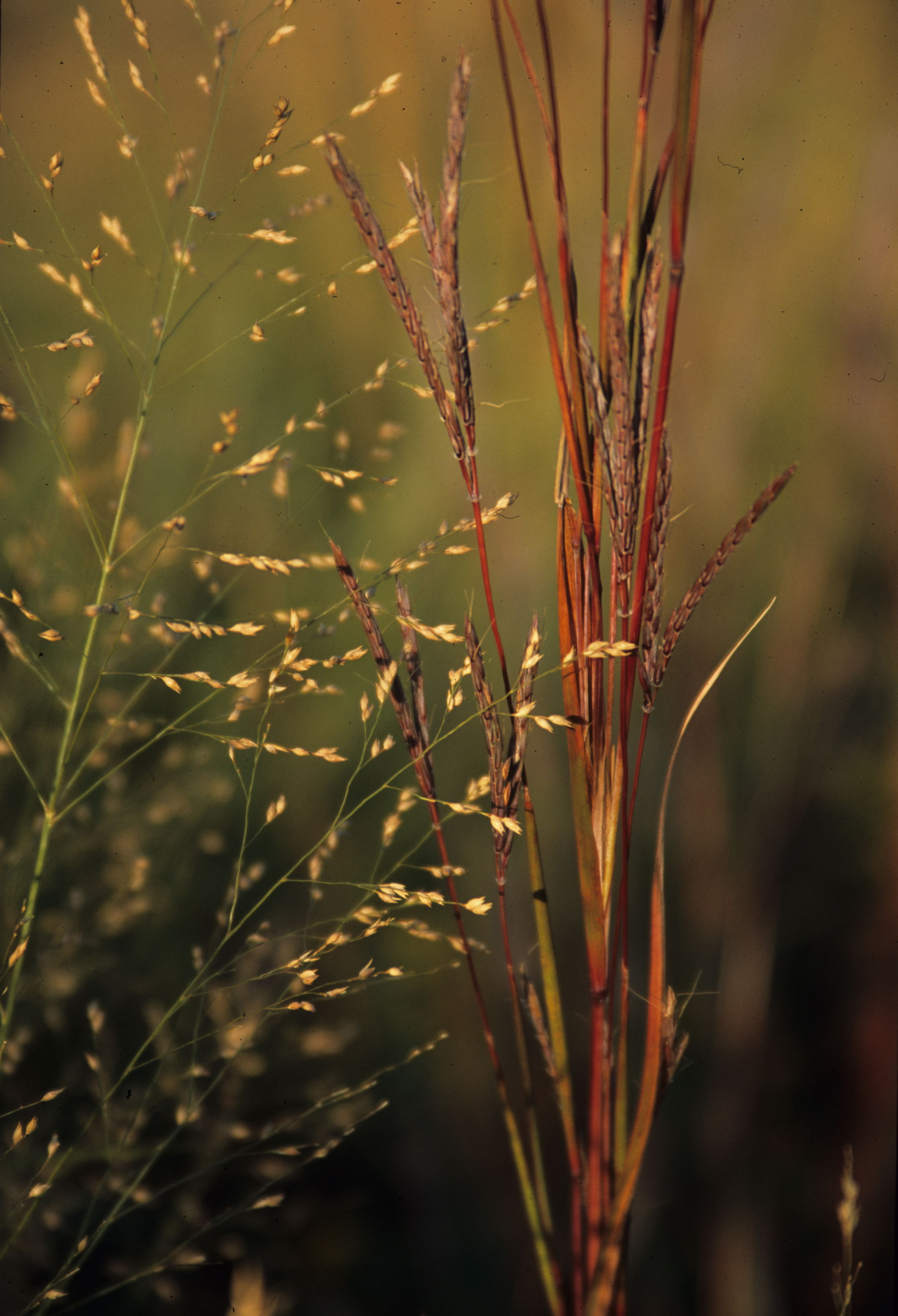 switchgrass_bluestem-EWeaver-092602