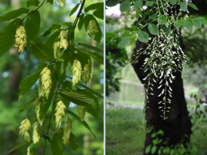 Blooms of hop hornbeam and yellowwood trees.