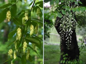 Blooms of hop hornbeam and yellowwood trees.