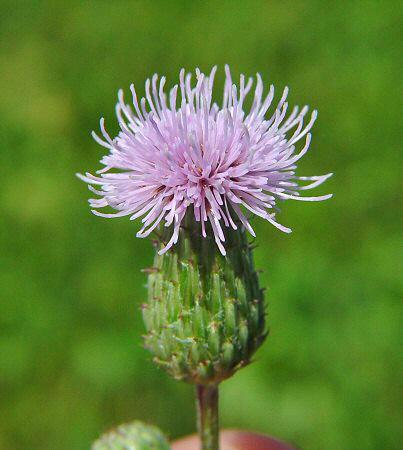 cirsium_arvense_flowers_deshadowed