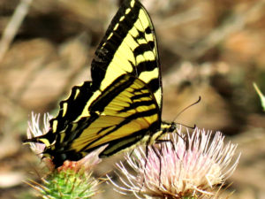 Tiger Swallotail By BLM Nevada (Tiger Swallowtail Butterfly) [CC BY 2.0 (http://creativecommons.org/licenses/by/2.0)], via Wikimedia Commons