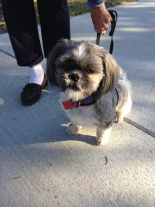Missy the Shih Tzu