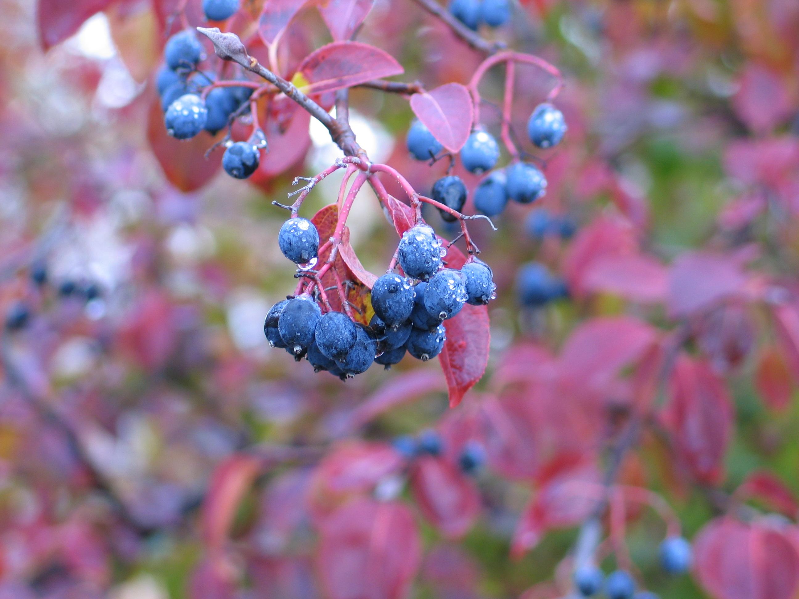 native-viburnums-fall-003
