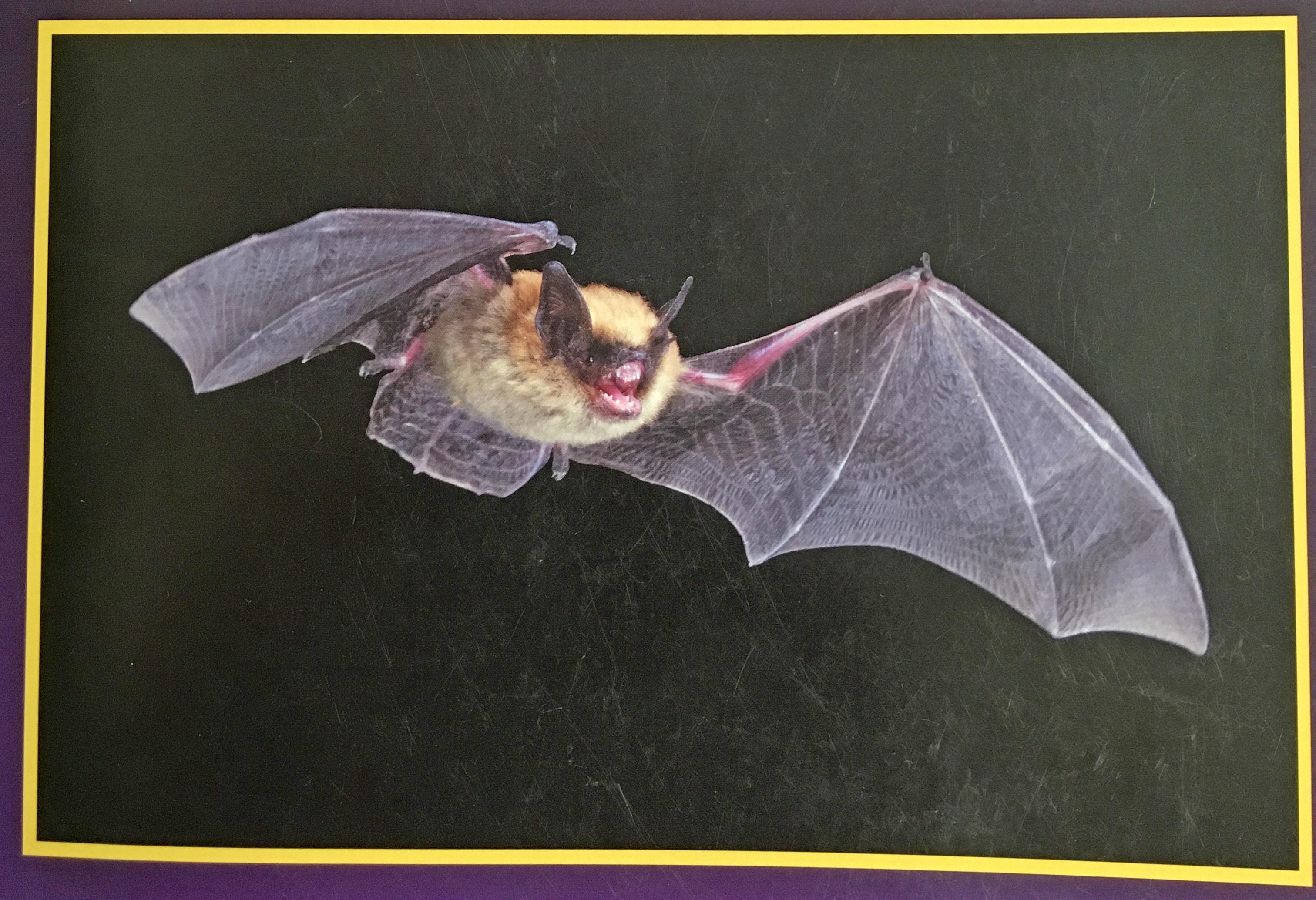 Bats of Kansas