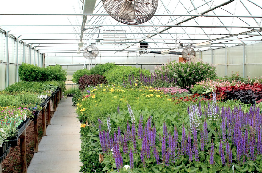 Photo of greenhouse in bloom, mature plants after many weeks of growing and care.